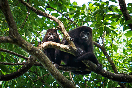 Howler Monkeys at Finca Las Nubes