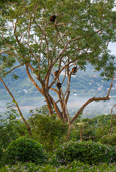 Four Howler Monkeys in a Tree